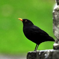 © MMB/Below  | Amsel  ♂