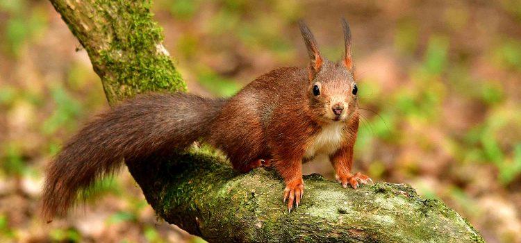 Das Eichhörnchen Arbeitsblatt : Das eichhÖrnchen naturschutz ruhr